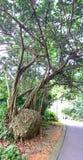 Strangler fig tree Royalty Free Stock Photos
