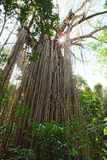 strangler fig tree gigantic rain forest tree Royalty Free Stock Photo