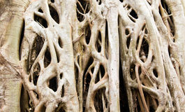 Strangler Fig tree roots background close up. Stock Photography