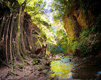 Strangler Fig Vines and Riverbanks in Costa Rica Stock Photos
