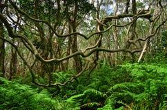 Strangler tree Stock Images