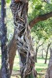 Strangler tree in Sri Lanka Stock Photos