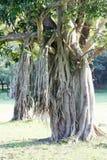 Strangler tree in Sri Lanka Stock Images