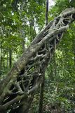 Strangler vine in forest. Royalty Free Stock Photos