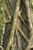 Stranglerfeige umkreist einen Baum in den Florida-Sumpfgebieten Stockfotografie