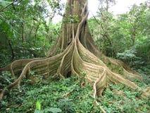 Stranglerfikonträd Arkivbild