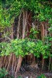 Stranglerfikonträd med nyckel- hjortar royaltyfria bilder