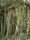 Stranglerfikonträd till lockchevalieren på ön av Martinique royaltyfri foto