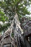 strangulosa ficus της Καμπότζης Στοκ Εικόνες