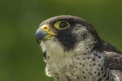Straniero (peregrinus di Falco) Fotografia Stock Libera da Diritti