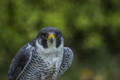 Straniero (peregrinus di Falco) Fotografie Stock Libere da Diritti