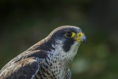 Straniero (peregrinus di Falco) Immagini Stock