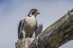 Straniero (peregrinus di Falco) Immagini Stock Libere da Diritti