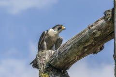 Straniero (peregrinus di Falco) Immagine Stock Libera da Diritti