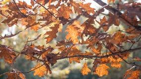 Stransparency delle foglie di autunno Immagine Stock