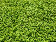 strappi e gossip, pianta con le piccole foglie nel colore verde intenso per la decorazione del giardino, fondo e struttura fotografia stock