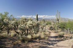 Strascichi nella foresta gigante del cactus del Saguaro Fotografie Stock