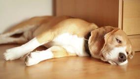 Strasznie zmęczony beagle lying on the beach na podłoga mieszkania dosypianie zdjęcie wideo