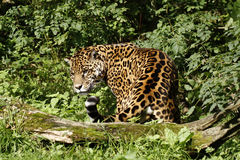 Straszny Jaguar Fotografia Royalty Free