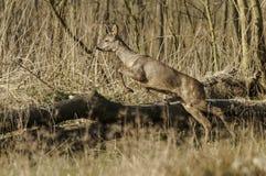 Straszny jeleni doskakiwanie nad drzewem Obraz Stock