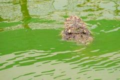 Straszny krokodyl wyłania się od wody atakować zdobycza Zdjęcie Royalty Free