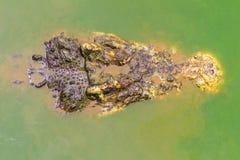 Straszny krokodyl wyłania się od wody atakować zdobycza Zdjęcia Stock