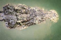 Straszny krokodyl wyłania się od wody atakować zdobycza Zdjęcia Royalty Free