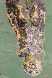 Straszny krokodyl wyłania się od wody atakować zdobycza Obrazy Royalty Free