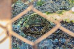 Straszny krokodyla oko podczas gdy śpiący w gospodarstwie rolnym Krokodyla farmin Zdjęcia Royalty Free