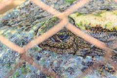 Straszny krokodyla oko podczas gdy śpiący w gospodarstwie rolnym Krokodyla farmin Zdjęcie Royalty Free