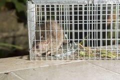 Straszny mały popielaty szczur w klatce Zdjęcie Royalty Free