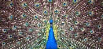 Straszny Pawi ono wpatruje się w strzale, czołowy widok Obrazy Stock