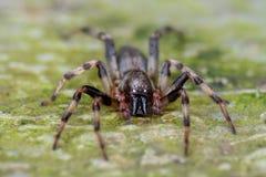 Straszny przyglądający czarny pająk fotografia stock
