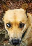 Straszny przyglądający pies obraz royalty free