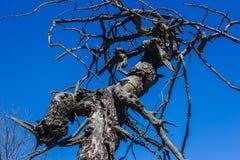 Straszny suchy nagi duży drzewo obraz stock