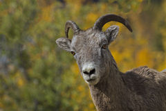Strategic interest shown by bighorn sheep Stock Images