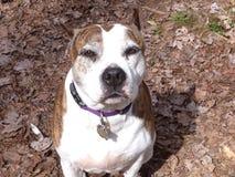 Stratfordshire pit bull pies zdjęcie stock