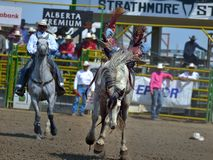 Strathmore  stampede. Strathmore  rodeo .  A cowboy   throw from his horse Royalty Free Stock Image