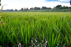 Stratiotes aloides,被合并的水战士罕见的水加了锯齿水生植物 免版税库存照片