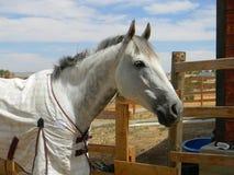 Strato d'uso grigio del cotone della testa di cavallo Fotografia Stock Libera da Diritti
