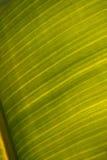 Strato della banana Fotografia Stock Libera da Diritti