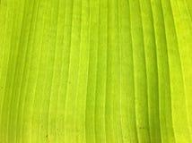 Strato della foglia della banana fotografia stock