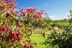 Strato rosso di autunno sul fondo del blu di giro Fotografia Stock Libera da Diritti