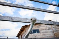 Strauß auf dem Bauernhof Lizenzfreie Stockbilder