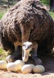 Strauß auf dem Nest im Klein-Karoo, Südafrika Stockfotografie