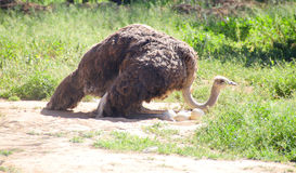 Strauß auf dem Nest im Klein-Karoo, Südafrika Lizenzfreie Stockbilder