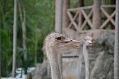 Strauß, der größte Vogel in der Welt Lizenzfreies Stockbild