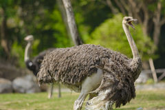 Strauß, der im Zoo oder in der Safari von Thailand gaffend steht Stockfotografie