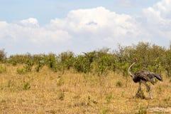 Strauß in der Savanne von Mara ein Park Stockfoto