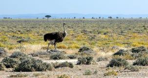 Strauß in gelbem Etosha Pan, Safari Namibia-wild lebender Tiere stock video footage